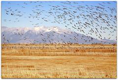 Sky filled with cranes (ctofcsco) Tags: 1320 180mm 5d 5dclassic 5dmark1 5dmarki aperturepriorityae canon colorado didnotfire digital ef28300mmf3556lisusm eos eos5d esplora evaluative explore explored f160 flashoff iso250 photo pic pretty renown superzoom unitedstates usa 2018 alamosa birds cranes geo:lat=3745997671 geo:lon=10614014486 geotagged image landscape migration montevista montevistanwr nationalwildliferefuge nature northamerica photograph picture sanluisvalley sandhillcrane sandhillcranefestival spring telephoto wildlife wwwmvcranefestorg zinzer grass mountain sky animals field bird animal