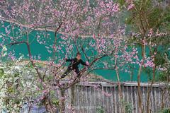 _Y2U1606.0218.Thài Phìn Tủng.Mèo Vạc.Hà Giang. (hoanglongphoto) Tags: asia vietnam northvietnam northeastvietnam people dailylife life children boy flower peachblossom water river nhoqueriver canon canoneos1dx canonef70200mmf28lisiiusm đôngbắc spring hàgiang người trẻem cuộcsống đờithường hoa hoađào mùaxuân hàgiangmùaxuân hoađàohàgiang nước sông sôngnhoquế