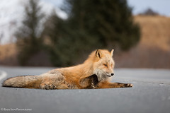 Lounging (rishaisomphotography) Tags: redfox vulpesvulpes wildlife wildlifephotography nature naturephotographer naturelovers rishaisomphotography kodiak alaska mammal shallowdof