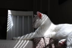 Charlie (rootcrop54) Tags: charlie white allwhite male cat sunlight stripes sunny window shades light neko macska kedi 猫 kočka kissa γάτα köttur kucing gatto 고양이 kaķis katė katt katze katzen kot кошка mačka gatos maček kitteh chat ネコ