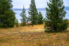 2017 USA Mountain States - Yellowstone NP, WY / West Thumb, Geysir Basin, Lake Yellowstone (dconvertini) Tags: west thumb geysir basin lake yellowstone yellowstonenationalpark wyoming usa