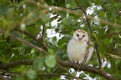 Barn Owl (j.arnold32) Tags: barn owl birds prey owlet wildlife tree