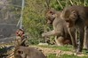 Hamadryas Baboons with Baby (The_Speedy_Butterfly) Tags: sandiego california unitedstates us monkey baboon