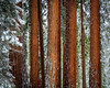 Forest of Giants (Brady Baker) Tags: trees nature trunk bark red california sequoia national park forest outdoor snow weather green white cluster giant coniferous strong pattern repetition