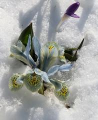 German Spring (gripspix (OFF)) Tags: 20180322 snow ice schnee eis flowers blumen frozen gefroren