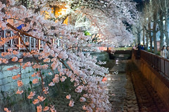 (untitled) (ytsai2937) Tags: korea cherrybloom flower festival night market river