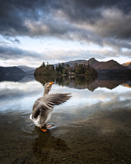extrovert (explored) (akh1981) Tags: amateurphotography goose derwentwater walking water wideangle beautiful nikon nature nationalpark nationaltrust nationalheritage nisifilters manfrotto mountains outdoors cumbria clouds countryside landscape lakedistrict lake uk unesco reflections