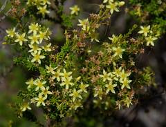 Calytrix angulata, Jandakot Regional Park, near Perth, WA, 07/12/17 (Russell Cumming) Tags: plant calytrix calytrixangulata myrtaceae jandakotregionalpark perth westernaustralia