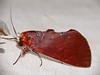 Notodontid Moth (Hemiceras conspirata) (berniedup) Tags: belizon roura guyane moth notodontidae hemicerasconspirata taxonomy:binomial=hemicerasconspirata