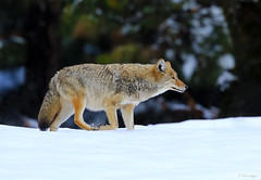 On the Hunt (Omnitrigger) Tags: coyote yosemite wildlife nature valley snowstorm