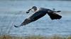Héron cendré à la pêche (*PYROS*) Tags: oiseau héron marais eau nature faune vendée olonne 85