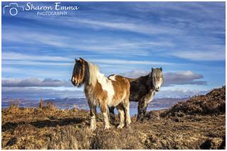 Skye Ponies