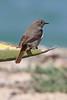 Black Redstart (m) (Roy Lowry) Tags: blackredstart farol phoenicurusochruros