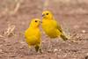Saffron Finch (7DC_6108-1) (Eric SF) Tags: saffronfinch finch koolinabeachpark waipaheplace kapolei oahu hawaii