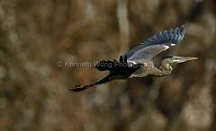 Livermore_SGP_031918_059 (kwongphotography) Tags: livermore ca calif wildlife wildlifephotography nature naturephotography birdphotography birds ornithology sycamoregrovepark nikonnofilter nikonlovers nikonusa unitedstates