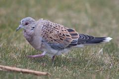 Turtle Dove, Pilling Lane (Fylde Bird Club) Tags: beachroad firstwinter turtledove