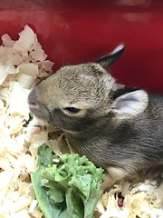 Baby Cotton Tail
