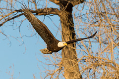 Bald Eagle launch in the morning light - 13 of 13