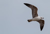 Gabbiano reale (Larus michahellis) - Y.L. Gull (michahellis), immaturo - (explored) (Carla@) Tags: gabbianoreale larusmichahellis ylgullmichahellis wildlife nature liguria italia europa