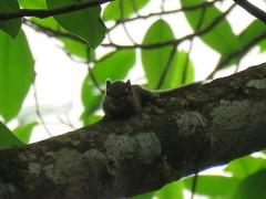 Sciuridae sp. (dhobern) Tags: 2018 china march xtbg xishuangbanna yunnan mammalia rodentia sciuridae