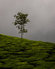 _SSS8987-Edit.jpg (S.S82) Tags: chikkamagaluru landscape teaestate india westernghats karnataka kudremukh nature ss82 landscapephotography landscapecaptures