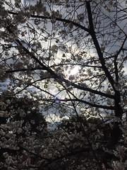 IMG_0133 (Coto Language Academy) Tags: iidabashi outside school cherryblossoms