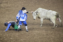 IMG_2792 (melodavis@sbcglobal.net) Tags: rodeohouston 2018 rodeo livestock heifer farmlife steer saddlebronc bronc bull bullriding calfscramble alpaca
