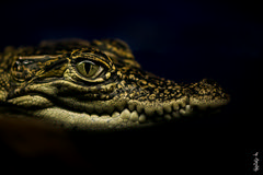 Crocodile little kitten and his eyes ... (N.Batkhurel) Tags: season winter animals reptiles crocodile ngc eyes macro mongolia closeup nikon nikond5200 105mm