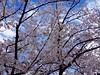 さくら 呉市警固屋1丁目 鍋山第一公園 2014年4月2日 (hiroshimaphotography) Tags: ساكورا cherryblossom sakura cerezo ساکورا 벚꽃 pokokbungasakura сакура 樱花 sakuro cerejeira bloesem սակուրա საკურა fiorediciliegio japanischekirschblüte ചെറിബ്ലോസം ချယ်ရီပန်း ซากุระ seresangnamumulaklak hoaanhđào