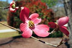 Cornus florida (Jim Atkins Sr) Tags: cornusflorida cornusflorida'cherokeechief' dogwood tree flower fairfieldharbour northcarolina olympuspenepm2 olympus