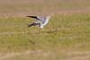 Pallid Harrier male feather ruffle_w_2406 (Daly Wildlife) Tags: paralimni ammochostos cyprus cy circusmacrourus pallidharrier migration birdsofprey raptor quartering hunting maleharrier mediterraneansea middleeast wintersafrica greywhitebird circling