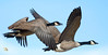 Close Canada Geese In Flight (Vidterry) Tags: geese canadageese canadageeseinflight nikond7000 nikkor200500mm420mm 12500thf63 handheld