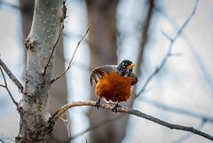 Meet Robin (Fraser8888) Tags: flight nature tree feathers robin bird vernon coolspond canada bc beautiful nikon d60 telephoto