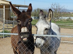 Was gibt es zu Grinsen? * What is there to grin about? * ¿De qué te ríes? *   . P1330946-001 (Maya HK - On and Off) Tags: 2017 310318 amadisli animales animals burros copyrightbymayawaltihk donkeys esel españa flickr isis panasoniclumixfz200 spain spanien tiere