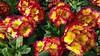 """Stielprimel (Primula Saxatilis) (warata) Tags: 2018 deutschland germany süddeutschland southerngermany schwaben swabia oberschwaben upperswabia schwäbischesoberland """"badenwürttemberg"""" badenwürttemberg """"samsung galaxy note 4"""" stielprimel """"primula saxatilis"""""""