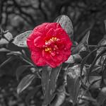Camellia Colour Pop thumbnail