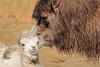My mom and me (K.Verhulst) Tags: kamelen camels dierenparkamersfoort amersfoort