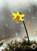 daffodil (srepton) Tags: bokeh bokehphotography backlit nature nikon naturephotography naturesjewels flora flower fleur flowers spring raindrops raindrop rain daffodil