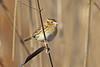 Le Conte's Sparrow (Alan Gutsell) Tags: bird texas texasbirds coast migration alan birds nature wildlife canon le contes sparrow lecontessparrow emberizine statepark sheldon