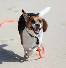 Lucky (LuckyMeyer) Tags: beach beagle run sun jagdhund hund dog running sand meer nordsee sea