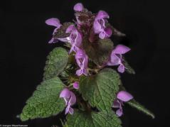Schönheit am Wegrand (Stängelumfassende Taubnessel) (J.Weyerhäuser) Tags: makro studio wegrand pflanze blüte henbit herb lamiumamplexicaule edible