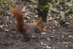Little Red Squirrel (Sara@Shotley) Tags: redsquirrel mammal nature animal trees woodland wales