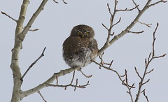 Northern Pygmy Owl  9248 (robenglish64) Tags: northernpygmyowl