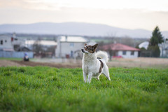 Nela & Garden (lukasr72) Tags: dog nature bokeh 50mm 18 yongnuo nikon d3100 landscape background