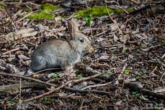 Jeune lapin  de garenne sauvage.Young wild rabbit. (musette thierry) Tags: animaux animalier lapin jeune musette thierry bois pritemps belguim belgique nikon 28300mm mars march gris capture rabbit