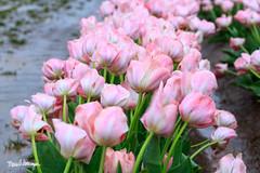 Woodburn Tulip Festival -9987 (Maria Swearingen Photography) Tags: 7th april festival oregon tulips woodburn farm macro unitedstates us pink rain wind gusts
