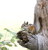 Colorado Chipmunk (Tamias quadrivittatus); Santa Fe National Forest, NM, Thompson Ridge [Lou Feltz] (deserttoad) Tags: nature newmexico animal rodent mamml fauna squirrel chipmunk behavior nationalforest mountain