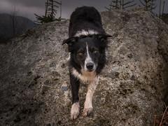 Tangerine Dream (JJFET) Tags: border collie dog sheepdog