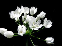 IMG_0038x (gzammarchi) Tags: italia paesaggio natura ravenna casalborsetti pineta fiore colore bianco