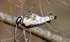 Lets Try It From This Angle (Kaptured by Kala) Tags: woodpecker whiterocklake dallastexas sunsetbay closeup maledownywoodpecker downywoodpecker malewoodpecker picoidespubescens eyelevel sunshine chinesetallowtree chinesetallowberries berries eating feeding triadicasebifera invasive seedpods seeds seed tree popcorntree